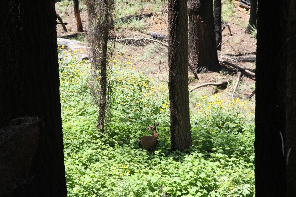 Een hertje tussen de sequoiabomen